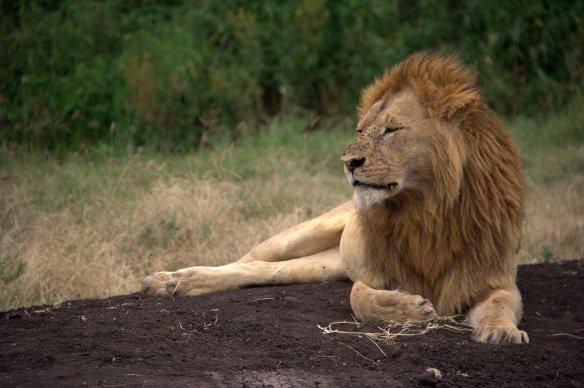 Leão (Panthera leo). O macho tem um papel importante no grupo: ajuda a abater presas maiores (como búfalos, hipopótamos e elefantes) e expulsa os jovens machos e evita o cruzamento entre irmãos - Foto: Fábio Paschoal
