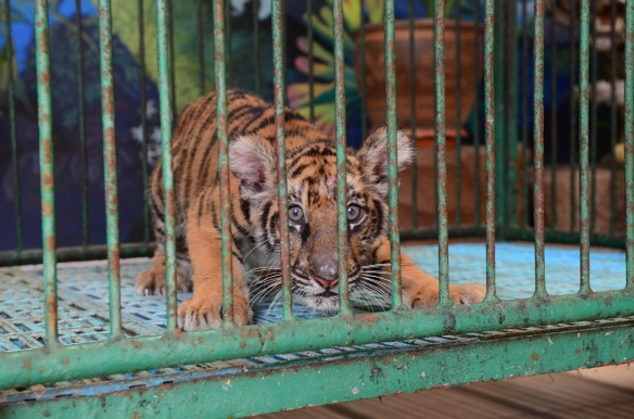 Filhote de tigre em cativeiro no Sri Racha Tiger Zoo, Tailândia - Foto: World Animal Protection